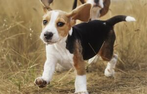 LOOKING FOR FEMALE BEAGLE PUPPY