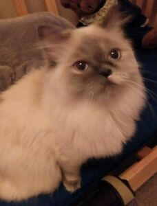 Aurora & Athena - bonded ragdoll sisters available for adoption