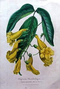 BIGNONIA-CHAMBERLAYNE-VAN-HOUTTE-Antique-Lithograph-Botanical-Print-1847