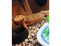 2 yr old f bearded dragon