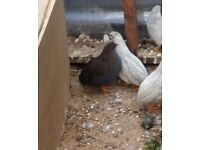 Chinese Painted Button Quails