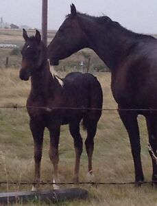 Black and White Paint Foals For Sale
