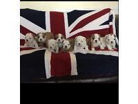 English bulldog puppies huu clear only boys left