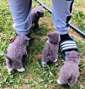 Scottish fold cross Russian blue vaccinated kittens