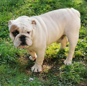 English Bulldog | Kijiji in British Columbia  - Buy, Sell