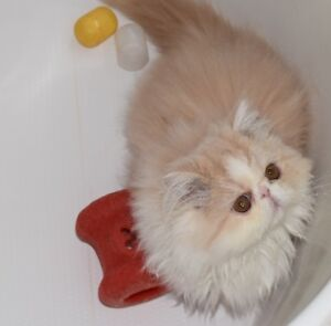 TICA Reg'd Persian/Exotic Shorthair Kittens for sale by breeder