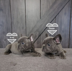 Adorable French bulldog puppies females Top bloodlines