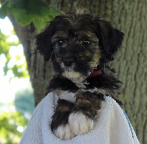 F1 Bernedoodle Puppies for Sale