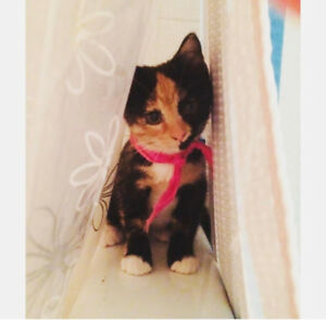 Tilly - Lost Female Cat - Calico Shorthair