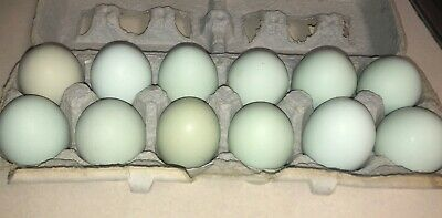 12 Pure Blueblacksplash Ameraucana Chicken Fertile Hatching Eggs
