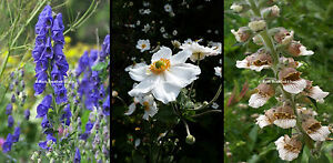 3x Tall Shade Hardy Perennial Bee plants Aconitum Anemone & Digitalis. 9cm pots