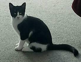 Black & white female kitten