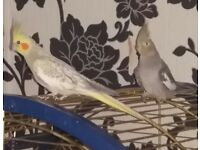 2 Cockatiels and large cage