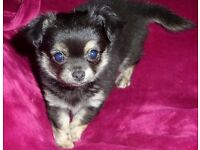 Chihuahua long hair male puppy