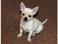 Adorable Tiny White Chihuahua Girl K.C. registered