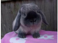 Beautiful mini lop girl
