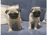 Stunning KC Pug females ready to leave.
