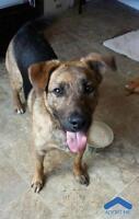"""Young Male Dog - German Shepherd Dog: """"Jack"""""""