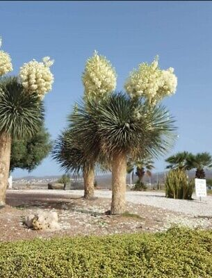 Yucca Rostrata - espectacular floración - 10 semillas - seeds frescas