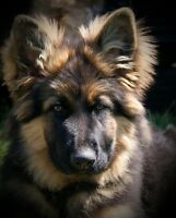 Long Haired German Shepherd Puppies Males and Females