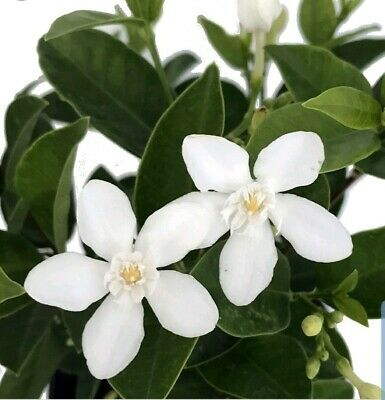 Asian Snow Jasmine Live Plant~wrightia Antidysenterica~plug Size 5 To 7 Inches