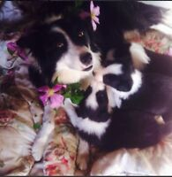 very beautiful pure bread border collie pupps