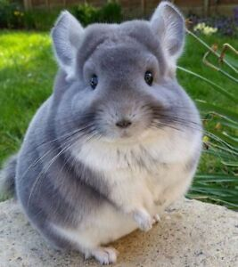 Looking for Chinchilla