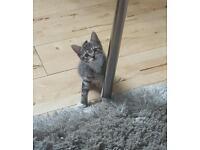 Tabby kittens for sell