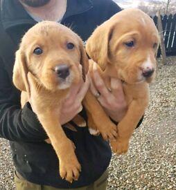 Vizsla x Labrador (Vizslador pups)