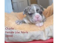 Female lilac merle french bulldog puppy