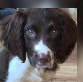 Springer spaniel English male dog for sale