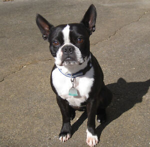 Looking for a Boston Terrier