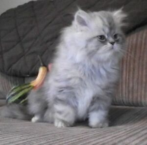 Persian Kittens (Silver or white)