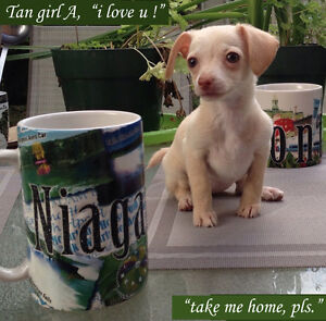 Sweet Tiny T-Cup PureBred Chihuahuas to Rehome
