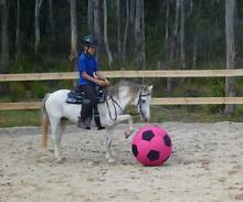 Welsh mountain sec A pony gelding Goulds Country Break ODay Area Preview