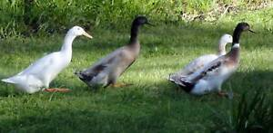 Indian Runner Ducks Lal Lal Moorabool Area Preview