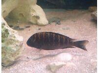 Tropheus moliro- firecracker cichlid