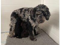 Miniature Poodle pups Health tested parents