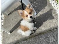 A lovely Pomeranian