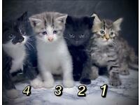Stunning kittens for sale