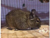 3 male degus with large cage and accessories