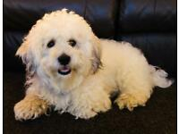 Bichon/Lhasa X for rehoming