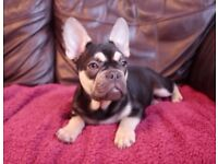 Chocolate and tan carrying blue French bulldog