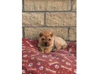 Shar Pei Female Puppy