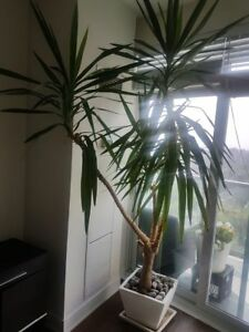 8 ft Yucca Plant with White Ceramic Plant--great value!