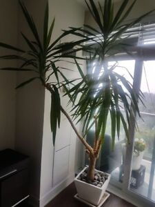 8 ft Yucca Tree with White Ceramic Planter