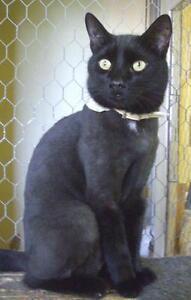 "Adult Male Cat - Domestic Short Hair-black: ""Salem"""