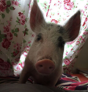 Beautiful piggy for sale Henley Brook Swan Area Preview