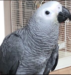 Gorgeous African Grey male Baby