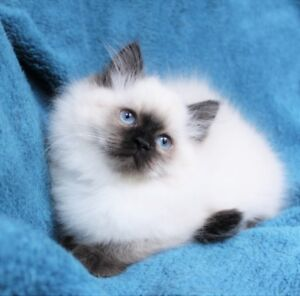 Fluffy  Ragdoll kittens  are ready for their  new homes